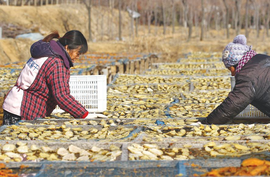 记者 迟锐   正月十一,年味正浓,但在市北开发区魏家村的田间地头、各家的院子里已是一派热火朝天的劳动场面,村民们在蒸红薯、切薯片、晒薯干,都忙得不亦乐乎。   魏家村种植红薯已经有三十多年的历史,优质的土地资源结合科学的后期管理,使这里的红薯连年丰收。而收获以后,农民却从来不急着把红薯卖掉,而是经过蒸熟、剥皮儿、切块儿以后,再经过晾晒制作成薯干。由于是纯手工制作,口感极佳,魏家村的薯干十分畅销。   而过去丰收之后的卖薯难,也愁坏了这里的一方百姓。如何种了不赔?摆在了老少爷们的面前。   走红薯生产