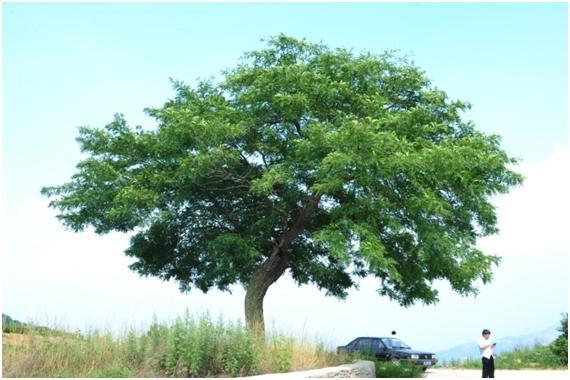 葡京开户三级古树名木:百年皂荚树冠如盖
