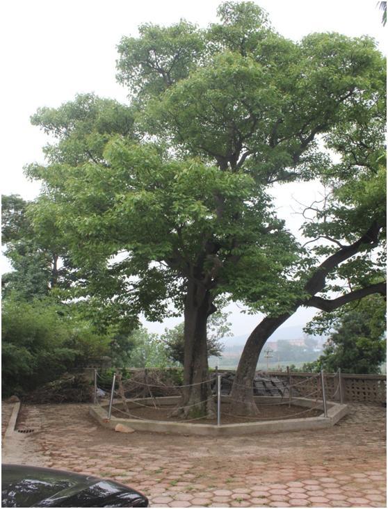 葡京开户一级古树名木:500年厚壳燕王赐名梭罗树
