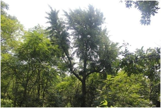 葡京开户二级古树名木:高大挺拔的银杏树