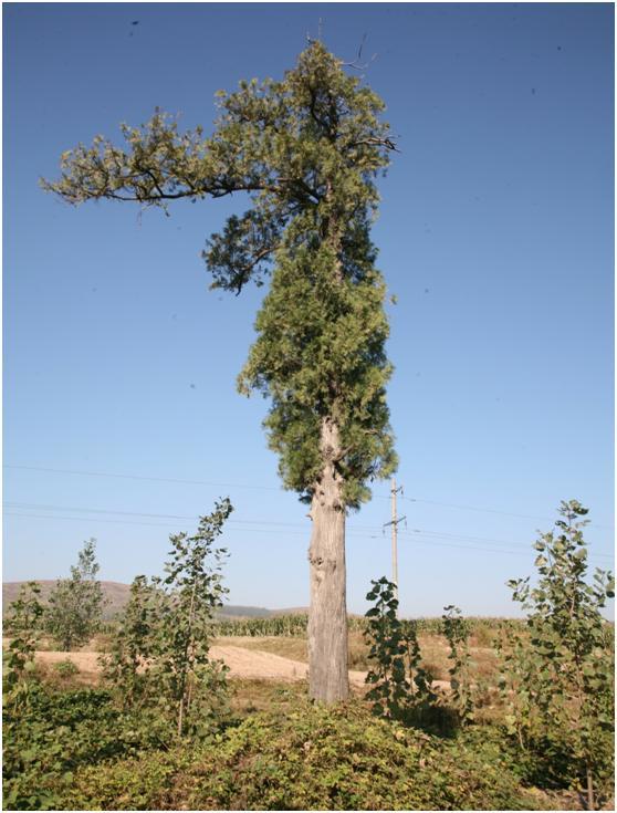 葡京开户二级古树名木:苍翠挺拔的侧柏树