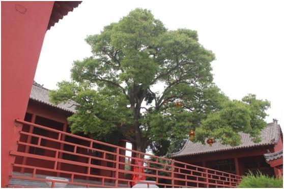 葡京开户二级古树名木:400年厚壳院中矗立