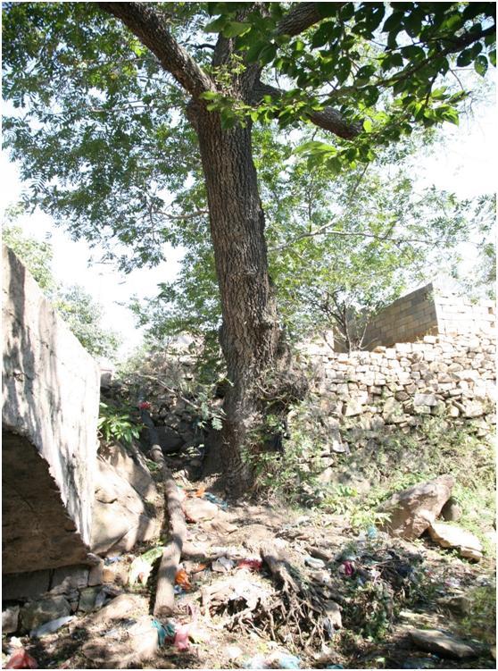 葡京开户二级古树名木:300年枫杨高大挺拔