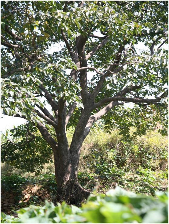 葡京开户三级古树名木:150年柿树生机勃勃