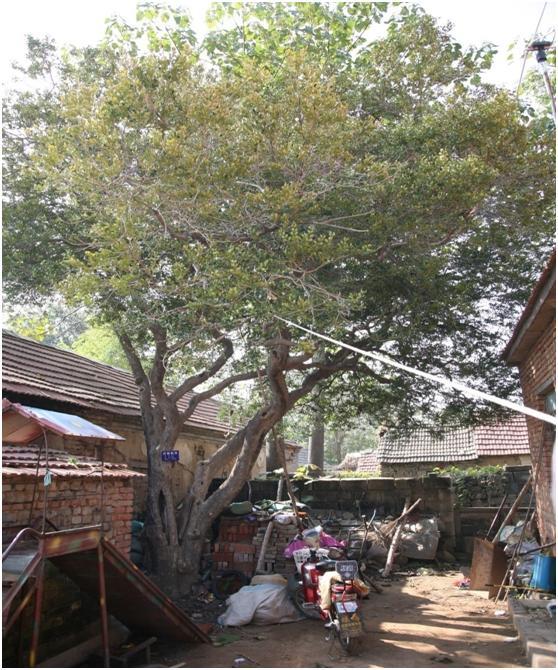 葡京开户二级古树名木:430年黄杨又称万年青
