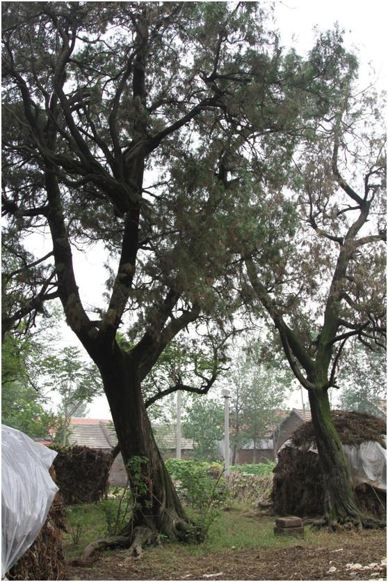 葡京开户二级古树名木:400年侧柏苍翠挺拔