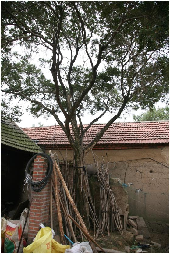 葡京开户三级古树名木:大叶黄杨耐寒力强