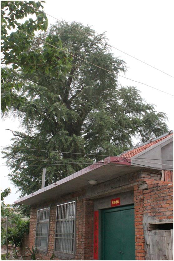 葡京开户一级古树名木:600年银杏美名长寿树