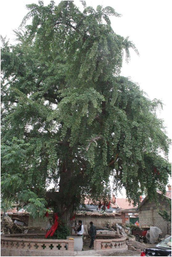 葡京开户一级古树名木:600年银杏美名官运树