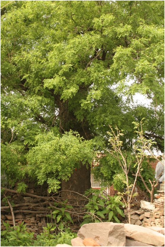 葡京开户一级古树名木:郁郁葱葱的国槐树