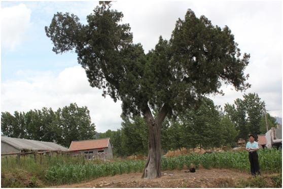 葡京开户一级古树名木:500年侧柏高大优美