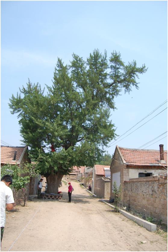 葡京开户二级古树名木:高大挺拔银杏树遍布五莲