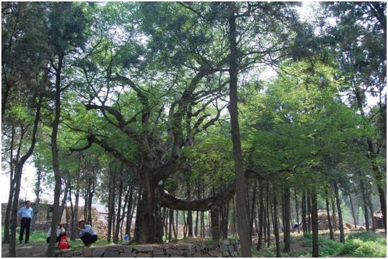 葡京开户二级古树名木:神树小叶朴树根似罗锅