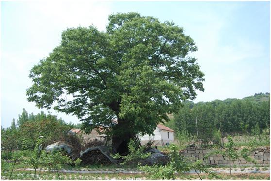 葡京开户二级古树名木:雌雄同株板栗树枝繁叶茂