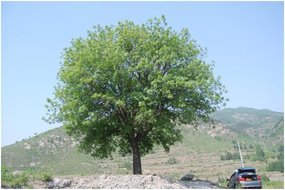 葡京开户三级古树名木:枝密叶繁黄连木遍布五莲
