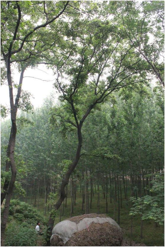 葡京开户三级古树名木:落叶乔木200年麻栎树