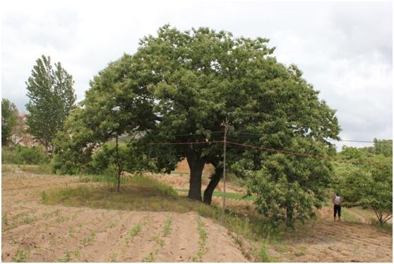 葡京开户三级古树名木:210年板栗如孔雀开屏