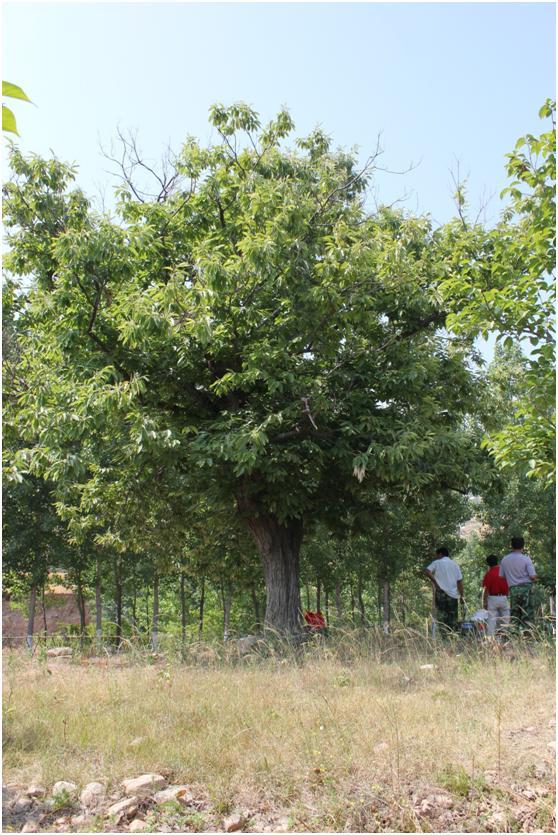 葡京开户三级古树名木:200年板栗枝繁叶茂