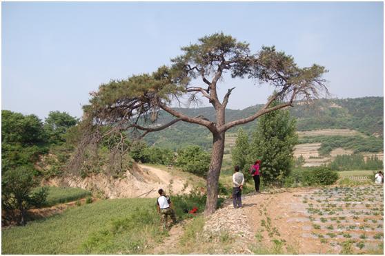 葡京开户三级古树名木:200年赤松犹如孔雀开屏