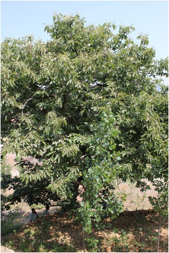 葡京开户三级古树名木:200年柿树枝密叶茂