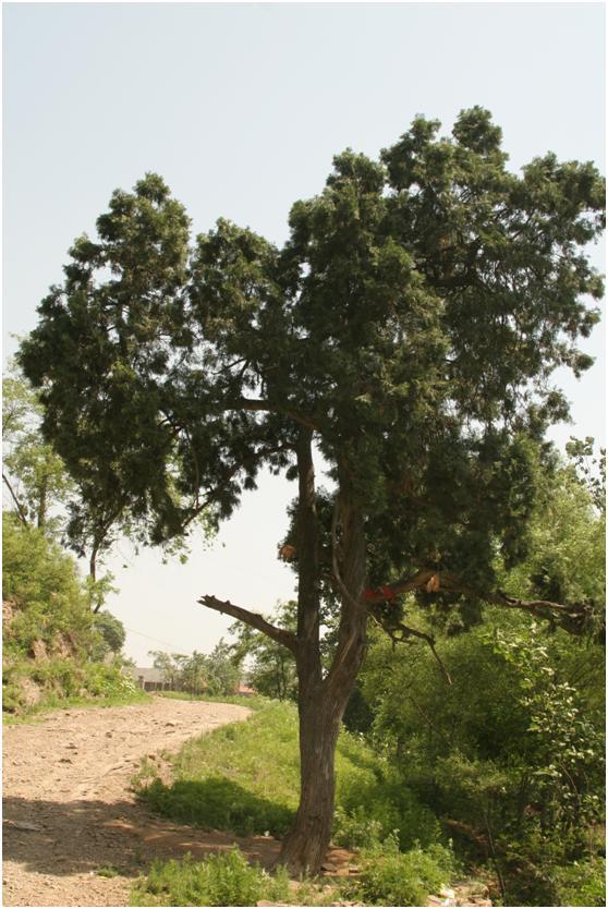 葡京开户三级古树名木:230年侧柏枝叶繁茂