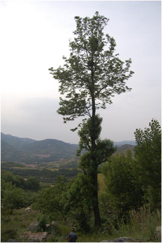 葡京开户三级古树名木:160年楸树俊秀挺拔